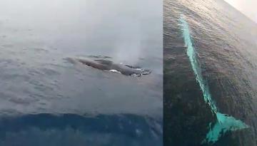 Adana'da 15 metrelik oluklu balina görüntülendi